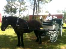 horse and carriage rental photo of driver and horse baton rouge clinton la louisiana